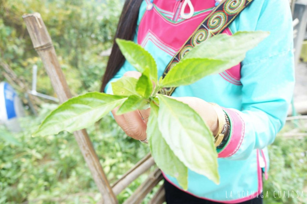 Planta indigo blue Sapa
