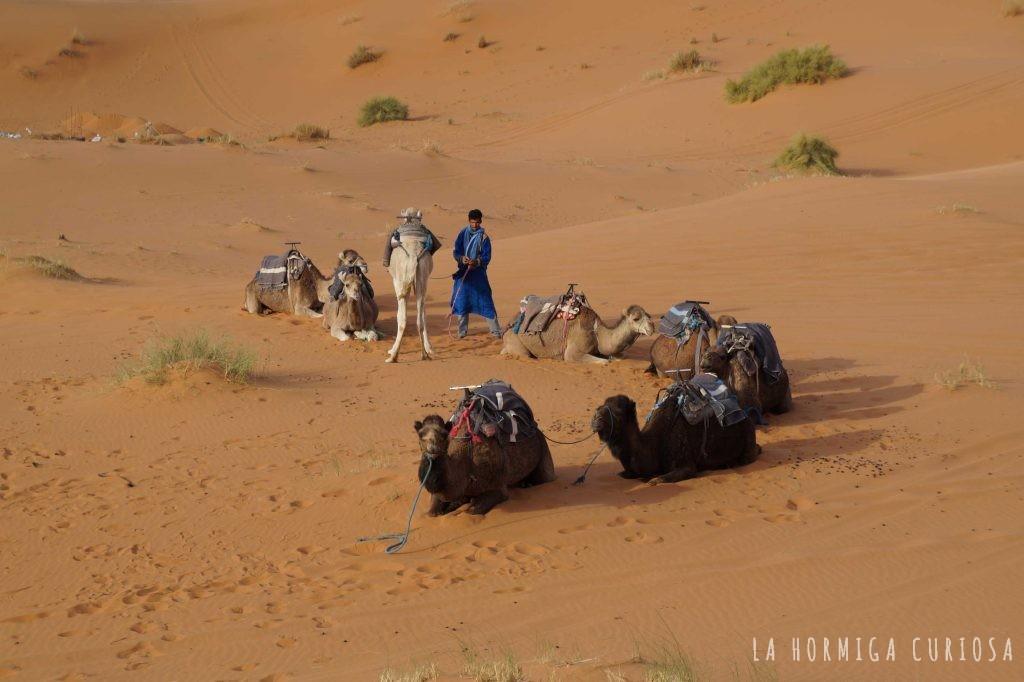 dromedarios, viaje desierto Sáhara, Marruecos